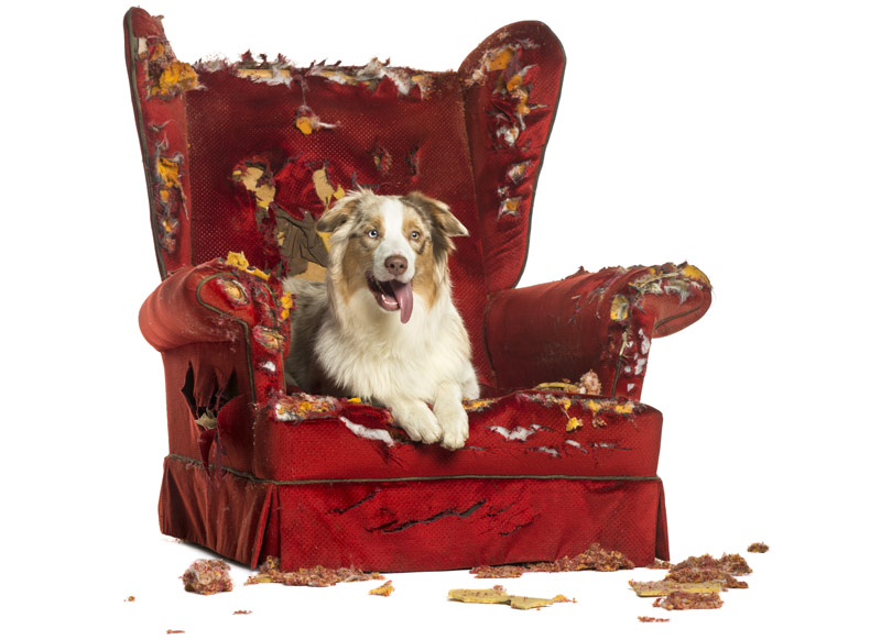 Guilty dog on a torn up armchair
